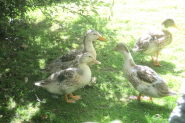 There are ducks on the farm, as well as hens and geese