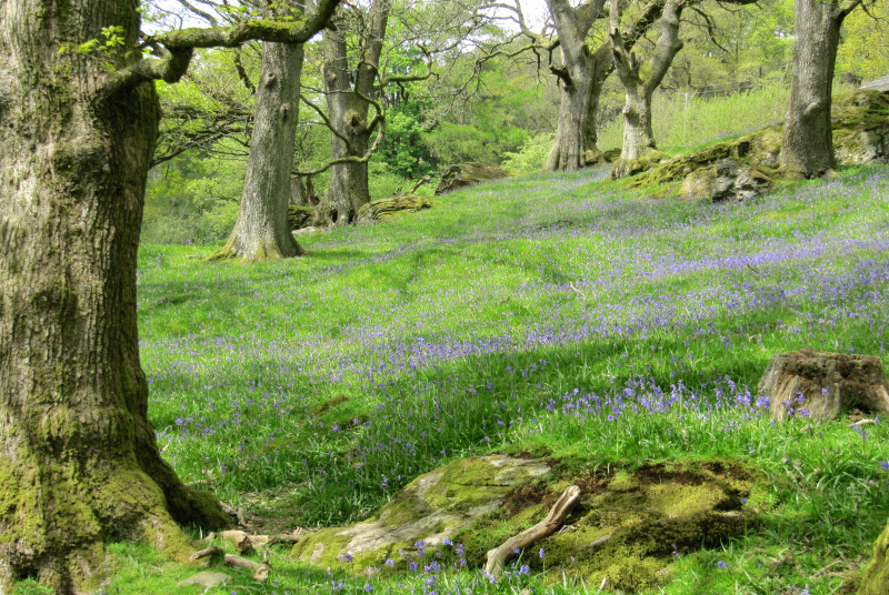 The local bluebell woods